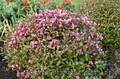 Продам саженцы Вейгелы и много других растений (опт от 1000 грн) - Изображение #4, Объявление #1562577