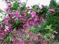 Продам саженцы Вейгелы и много других растений (опт от 1000 грн) - Изображение #5, Объявление #1562577