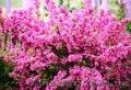 Продам саженцы Вейгелы и много других растений (опт от 1000 грн) - Изображение #6, Объявление #1562577