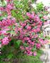 Продам саженцы Вейгелы и много других растений (опт от 1000 грн) - Изображение #7, Объявление #1562577