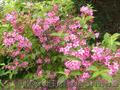 Продам саженцы Вейгелы и много других растений (опт от 1000 грн) - Изображение #8, Объявление #1562577
