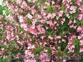 Продам саженцы Вейгелы и много других растений (опт от 1000 грн) - Изображение #9, Объявление #1562577