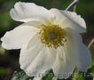 Продам саженцы Ветреницы и много других растений (опт от 1000 грн), Объявление #1562572