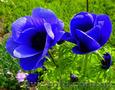 Продам саженцы Ветреницы и много других растений (опт от 1000 грн) - Изображение #2, Объявление #1562572