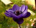 Продам саженцы Ветреницы и много других растений (опт от 1000 грн) - Изображение #3, Объявление #1562572