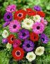 Продам саженцы Ветреницы и много других растений (опт от 1000 грн) - Изображение #5, Объявление #1562572