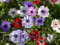 Продам саженцы Ветреницы и много других растений (опт от 1000 грн) - Изображение #7, Объявление #1562572