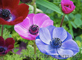 Продам саженцы Ветреницы и много других растений (опт от 1000 грн) - Изображение #9, Объявление #1562572