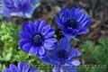 Продам саженцы Ветреницы и много других растений (опт от 1000 грн) - Изображение #10, Объявление #1562572