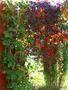Продам саженцы Дикий Виноград (Девичий виноград) и много других растений, Объявление #1562819