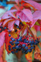 Продам саженцы Дикий Виноград (Девичий виноград) и много других растений - Изображение #2, Объявление #1562819