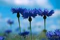 Продам Волошки Садовые и много других растений (опт от 1000 грн), Объявление #1562578