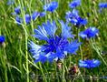 Продам Волошки Садовые и много других растений (опт от 1000 грн) - Изображение #2, Объявление #1562578