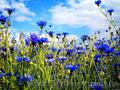 Продам Волошки Садовые и много других растений (опт от 1000 грн) - Изображение #4, Объявление #1562578