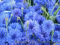 Продам Волошки Садовые и много других растений (опт от 1000 грн) - Изображение #5, Объявление #1562578