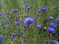Продам Волошки Садовые и много других растений (опт от 1000 грн) - Изображение #6, Объявление #1562578