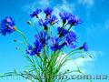 Продам Волошки Садовые и много других растений (опт от 1000 грн) - Изображение #8, Объявление #1562578
