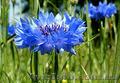 Продам Волошки Садовые и много других растений (опт от 1000 грн) - Изображение #9, Объявление #1562578