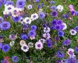 Продам Волошки Садовые и много других растений (опт от 1000 грн) - Изображение #10, Объявление #1562578