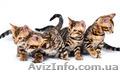 Бенгальский котенок (официальный питомник WCF), Объявление #1577612