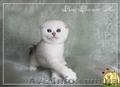 Шиншиловых шотландских  котят шотландских бесплатно, Объявление #1601884