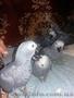 Птенцы выкормыши жако. - Изображение #3, Объявление #1589050