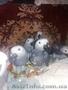 Птенцы выкормыши жако. - Изображение #4, Объявление #1589050
