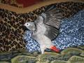 Птенцы выкормыши жако. - Изображение #2, Объявление #1589050