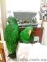 Говорящий птенец выкормыш эклектуса. - Изображение #2, Объявление #1617917