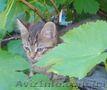 Пепельно-полосатые котята  ждут хозяина, Объявление #1621569
