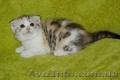 Отдам шотландских породистых котят БЕСПЛАТНО! - Изображение #2, Объявление #1622049
