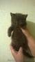 Отдам шотландских породистых котят БЕСПЛАТНО! - Изображение #3, Объявление #1622049
