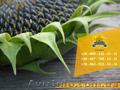 Семена подсолнечника Солтан / Насіння соняшника Солтан, Объявление #1588892