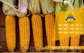 Насіння від виробника: пшениця, соняшник, кукурудза - Изображение #6, Объявление #1588896