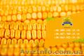 Семена кукурузы / Насіння кукурудзи Дніпровський 181 СВ від ПБФ «Колос» - Изображение #2, Объявление #1632334