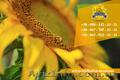 Семена подсолнечника / Насіння соняшника Златсон - Изображение #5, Объявление #1588884