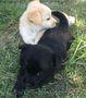 Щенки от мелкой дворовой собачки - Изображение #2, Объявление #1631322