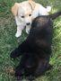 Щенки от мелкой дворовой собачки, Объявление #1631322