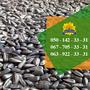Семена подсолнечника / Сертифіковане насіння соняшника - Изображение #4, Объявление #1588891