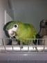 Птенцы выкормыши карликового ары. - Изображение #2, Объявление #1635213