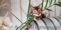 Купить бенгальскую кошку в Харькове. Бенгальские котята купить. Харьков., Объявление #1636802