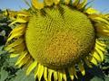 КАРДИНАЛ – насіння соняшнику (економ) , Объявление #1644637