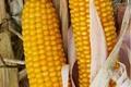 Посівний матеріал кукурудзи Вакула ФАО 250, Объявление #1644498