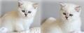Профессионально выращенные чистокровные шотландские котята, Объявление #821637